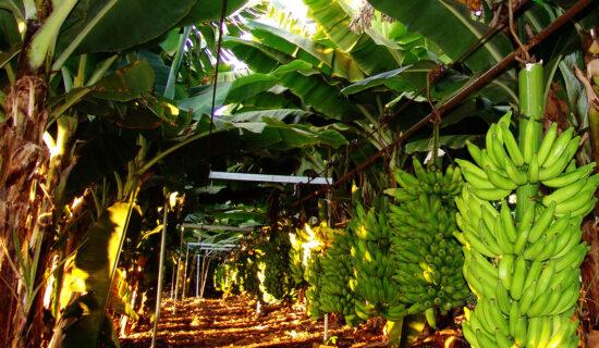 Região Norte de Minas responde por mais da metade da produção de banana no estado